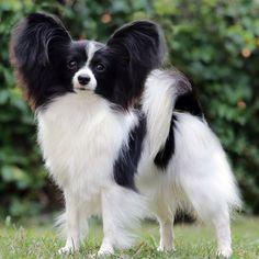 Bell.     #salatino #clubesalatino #dog #cão #papillon Chihuahua Puppies, Dogs And Puppies, Doggies, Papillion Dog, Animals Beautiful, Cute Animals, Dog Quotes, Little Dogs, Beautiful Butterflies