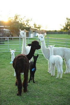 Purl Alpaca Designs: Fashion in the Fields of Houghton Hall Alpaca Farm