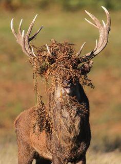 Red Deer Stag by Dan Belton