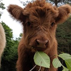 This is my favorite cow. I just absolutely love how cute it is. Yes people, I have a heart. After all a cow is my symbol. Cute Baby Cow, Baby Cows, Cute Cows, Baby Elephants, Baby Farm Animals, Fluffy Cows, Fluffy Animals, Animals And Pets, Cute Creatures