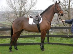 Irish sport horse. for me,one of the best horse breeds