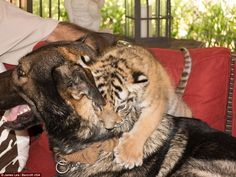 The tiger cub, pictured, was rejected by its mother so Igor stepped in to provide the abandoned animal with emotional support