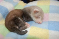 I would be more inclined to love ferrets if they stayed like this...