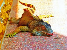 Komodo Dragon.  Latin name:  Varanus Komodoensis  A large monitor lizard, growing to a length of 3 m and 10 feet.  Native to the island of Komodo, east of Java.  For more about reptiles, please visit:  https://www.tes.com/teaching-resource/reptiles-themed-pack-11567141