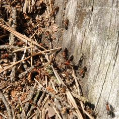 carpenter ants on a decaying tree