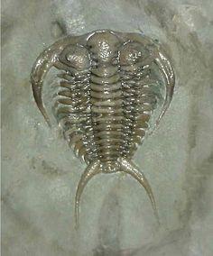 Ceraurus plattinensis