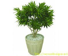 Cây Trúc Bách Hợp thích hợp trồng chậu làm cảnh trang trí Văn Phòng,hành lang, phòng khách hay sân vườn, có khả năng điều hòa không khí
