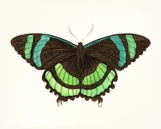 Hand drawn of green-banded tailed butterfly | premium image by rawpixel.com