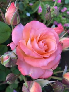 World of Flowers Exotic Flowers, Amazing Flowers, Beautiful Roses, Beautiful Flowers, Flowers Draw, Garden Show, Rose Wallpaper, Flower Images, Planting Flowers
