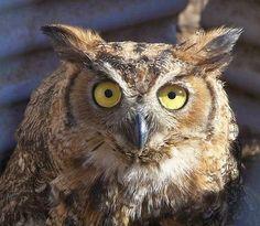 cuteanimalsworld: Owl, predatory birds