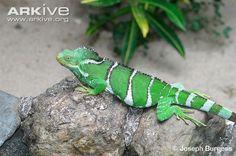 http://cdn1.arkive.org/media/6A/6AAC372C-F633-4339-984A-E71D844EFD13/Presentation.Medium/Fiji-crested-iguana.jpg  Fiji Crested iguana- distinct from the Fiji banded iguana. Critically endangered.