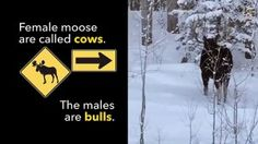 Rare Video- Moose Loses an Antler