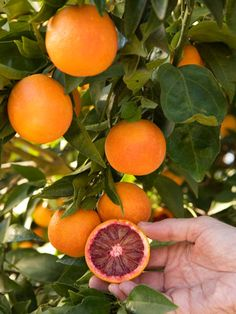 The next addition to our citrus trees . . . would love a blood orange tree