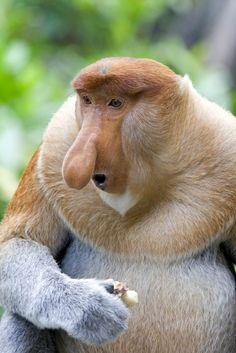 A rare proboscis monkey in the mangrove, Kota Kinabalu. (He looks like something out of Star Trek!)