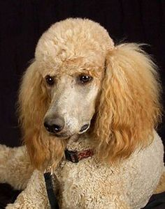 ♔ French poodle.