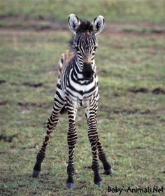 A newborn baby zebra, who still has his umbilical cord attached. Since zebras are prey animals, a baby zebra must be able to run very quickly, so that it can keep up with its mother and avoid predators. Zebra Pictures, Baby Animals Pictures, Cute Animal Pictures, Prey Animals, Big Animals, Cute Baby Animals, Smiling Animals, Cute Baby Elephant, Baby Zebra