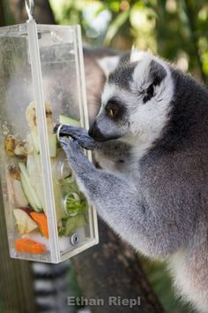 Busy Box for Ring-Tailed Lemur at Saint Louis Zoo.