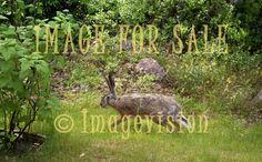 for sale wild brown hare running in garden