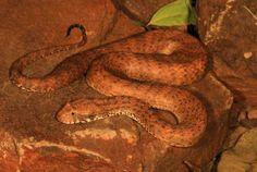 Há uma nova espécie de cobra venenosa descoberta na Austrália recentemente. A Acanthophis, da família das cobras assassinas do país, tem cerca de 60 centímetros de comprimento e uma cabeça em formato de diamante.