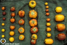 Diversity of cocona (Solanum sessiliflorum) fruit size and shape has been created by selection for novel fruit types by Yanesha and other indigenous peoples of the upper Amazon.