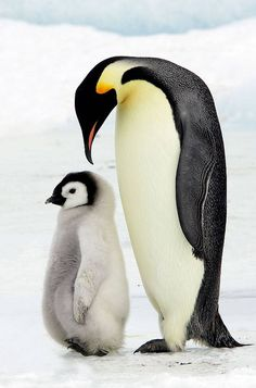 Frozen Planet is a BBC programme that is just unbelievable. If you ever have a chance to watch it honestly it is a stupendous feat of filming! Wild Animals Attack, Animal Attack, Penguin Love, Cute Penguins, Penguin Craft, Animals And Pets, Baby Animals, Cute Animals, Beautiful Birds