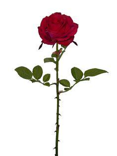 Linda rosa vermelha, com 1 botão aberto médio, qualidade extra | Referência: 1356500000604 | Altura: 60 cm | Composição: Tecido, Plástico e Arame