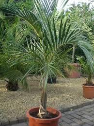 Image result for mascarena verschaffeltii palm