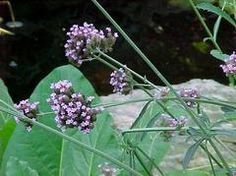 Verbena bonariensis - Tender perennial that is winter hardy to USDA Zones Otherwise, grow as an annual in average, moist, well-drained soils in full sun to part shade Deer Resistant Annuals, Water Wise, Annual Plants, Verbena, Garden Spaces, Plant Care, Garden Planning, Horticulture, Garden Landscaping