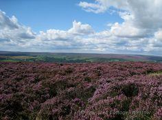 North Yorkshire Moors purple heather