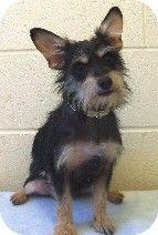 Love My Dog, Mini Schnauzer, Miniature Schnauzer, Bulldogs, Puppy Tattoo, Winter Project, Chihuahua Mix, Adorable Dogs, Lhasa Apso