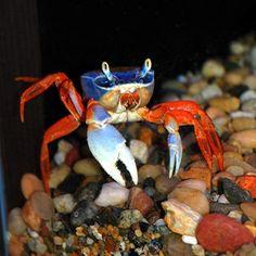 Freshwater Moon Crab