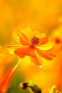 Yellow Cosmos flower #yellow #golden #cosmos