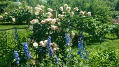 Delphiniums and roses Old Westbury Gardens, Delphiniums, Roses, Plants, Pink, Delphinium, Rose, Plant, Planets
