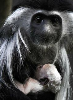Olivia, 5, an Angolan colobus monkey, cradles her newborn. The first Angolan colobus monkey to be born at Brookfield Zoo arrived on March 9 and is part of the Tropic World/Africa exhibit.