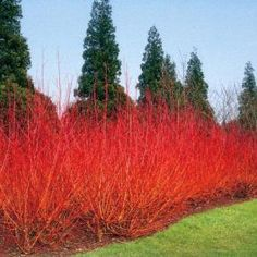 Willow shrub makes a lovely hedgerow for privacy and fall/winter interest. Would require some spring maintenance to cut down as it can be a vigorous grower. Deciduous Trees, Trees And Shrubs, Privacy Landscaping, Garden Landscaping, Garden Shrubs, Garden Plants, Back Gardens, Outdoor Gardens, Landscape Design