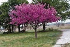 Red bud, Spring flowering trees are a species that create an impressive display. This flowering tree grows typically tall, and a spreads for a mature plant. Cercis canadensis starts flowering as early as four years old. Trees And Shrubs, Trees To Plant, Eastern Redbud Tree, Tree Seeds, Large Backyard, Plantar, Small Trees, Colorful Trees, Front Yard Landscaping