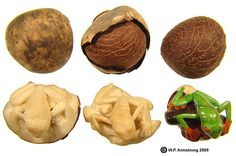 The life cycle of a tagua nut, from its original form to a gorgeous tree frog carving! Photo courtesy of waynesword. Ivory Elephant, Sea Beans, Dremel Carving, Jewelry Booth, Avocado Seed, Whittling, Nature Crafts, Wood Turning, Natural Materials