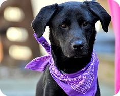 Today's Five O'Clock Cuteness is Chloe, a stunning and soulful black Lab mix in Sparta, New Jersey. Chloe was just rescued in the nick of time from being put to sleep, but she needs a forever home now! This sweet, young girl is a bit underweight, but she will be on the smaller side for a Lab even when full grown. For more on adopting this beauty, please visit Chloe's Adopt-a-Pet.com profile: http://www.adoptapet.com/pet/8694403-sparta-new-jersey-labrador-retriever-mix