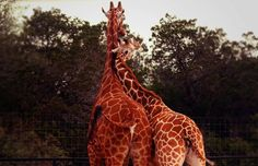 Giraffe cuddling