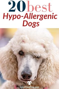 Here we expose the myth of the 100 percent hypoallergenic pup, and take a look at our 20 favorite breeds that have low shedding and pet dander. #LoveYourDog #HypoallergenicDogBreeds #DogBreeds #AllergyFreeDogs #DogDander #DogInformation #FavoriteDogBreeds #Poodles Best Hypoallergenic Dogs, Dog Information, Pet Dander, R Dogs, Poodles, Fun Activities, Dog Breeds, Your Dog, Pup