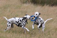 Dalmatians    Like and repin please :)
