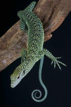 los urodelos: tienen una cola y cuatro patas de tamaño similar. son las salamandras y los tritones.