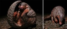 There are eight different species of pangolin, some almost a meter long. They are found in tropical regions of Africa and Asia, with some species living in deep holes in the ground (like the Indian Pangolin), or preferring to live on trees. The Chinese and the Sunda Pangolin are particularly endangered, hunted and tragically close to extinction.