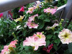 http://skyggebalkongen.blogspot.no/2013/07/petunia-ute-og-inne-arets-favoritt.html