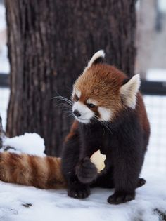 Scary Animals, Nature Animals, Animals And Pets, Super Cute Animals, Cute Baby Animals, Beautiful Creatures, Animals Beautiful, Red Panda Cute, Baby Panda Bears