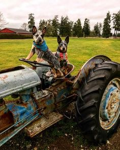 """""""Nothing to see here just two farm dogs, farming"""""""