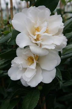 Camellia japonica 'Silver Anniversary' (U.S., 1960)