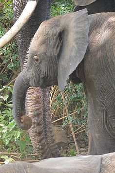 Did you know an elephants gestation period is 23 months! That's almost 2 years of pregnancy folks