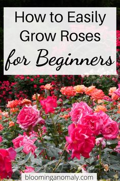 Learn how to grow beautiful roses in this informative post. Learn to grow roses in pots and more. Click on the pin to read more about roses for beginners. #growroses #howtogrowroses #rosesforbeginners #roses Beautiful Flowers Garden, Amazing Flowers, Beautiful Roses, Gardening For Beginners, Gardening Tips, Floribunda Roses, Rose Care, Types Of Roses, Growing Roses