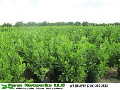 Clusia Guttifera Hedge - We Deliver Wholesale Plant Nursery, Clusia, Wholesale Plants, Harbor Island, Small Leaf, Beautiful Dream, Tropical Plants, Hedges, South Florida